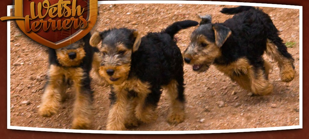 Malvado Welsh Terriers: Top breeders of show quality Welsh Terriers